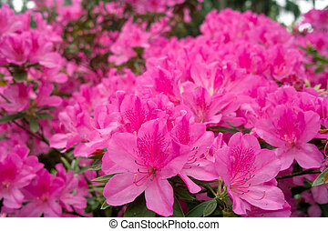 Azalea flowers - Group of azalea flowers blooming in the...