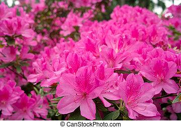 Azalea flowers - Group of azalea flowers blooming in the...