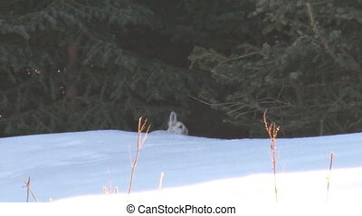 Snowshoe Hare 1 - Snowshoe hare in shadows on bright day...