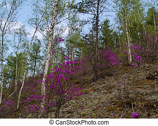 Blossoming rhododendron on a mountain slope