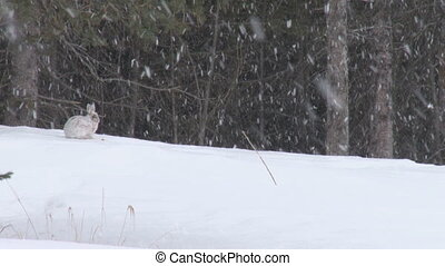 Snowshoe Hare 4 - Snowshoe hare in snowfall, alert, bounds...