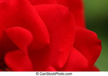 Red rose head horizontal close-up