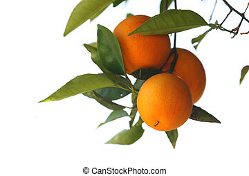 Fresh oranges on a tree branch isolated on white background...