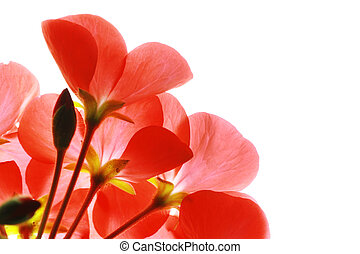 Red flower macro over white background