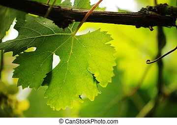 Grape leaf close-up. Shallow DOF. - Grape leaf on grapevine,...