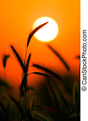 Grass Silhouette Against Sunset, Close up of ripening rye...