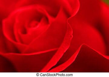 Red rose petals horizontal close-up. Shallow DOF.