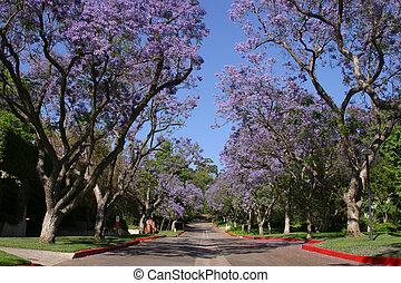 Florecer, Jacaranda, árboles