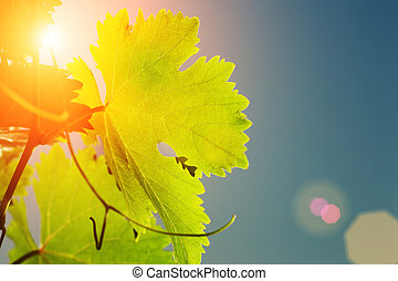 Sun shining through grapevine leaves, close-up