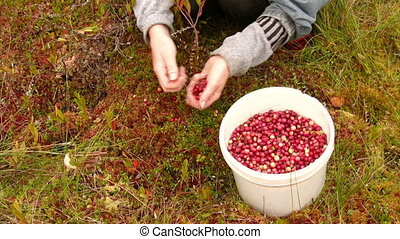 Cranberry harvest - Woman harvests cranberries on the marsh...