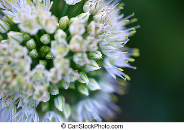 Blooming onion flower bud, abstract close-up Shallow DOF