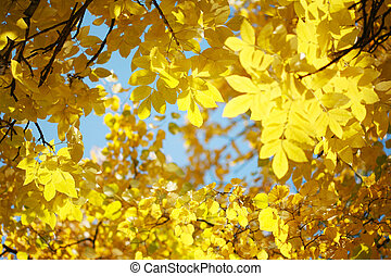 Yellow autumn leaves on tree over blue sky.