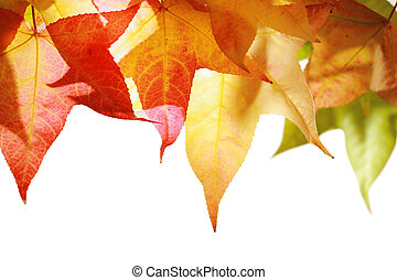 Red and yellow autumn leaves isolated on white.