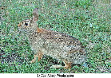 Cottontail Rabbit - Cottontail rabbit sitting on the grass.