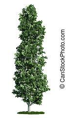 peuplier, arbre, isolé,  (populus), blanc