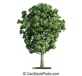 isolated tree on white, Poplar (populus x canescens)