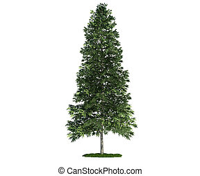 isolated tree on white, Norway spruce (Picea abies) - Norway...