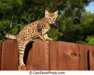 Male Serval Savannah Kitten - A spotted and striped gold...