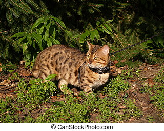 Male Serval Savannah Cat on a Leash - Male domestic Serval...