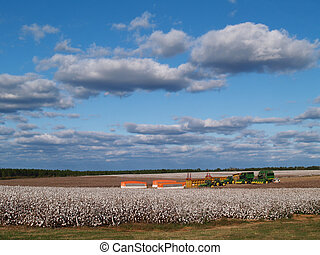 Panorama of Cotton Field at Harvest - Country panorama of...