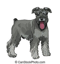 vector Miniature Schnauzer dog with his tongue hanging out -...