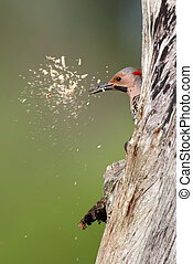 Woodpecker building a nest - Northern Flicker (Colaptes...