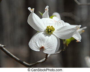Lone bloom - Dogwood blooms shown closeup during the spring...