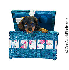 dachshund in sewing box - small dachshund puppy peeking out...