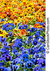 flowers - viola tricolor pansy, flowerbed