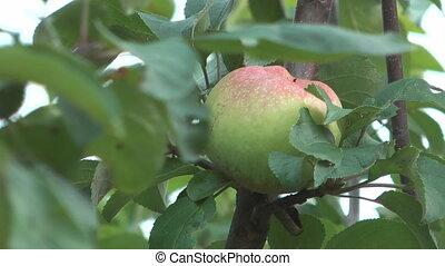 Apple-tree. - HD 1920x1080 close up shot of apple on...