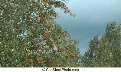 Red ashberry. - Autumn red mountain ash against the blue...
