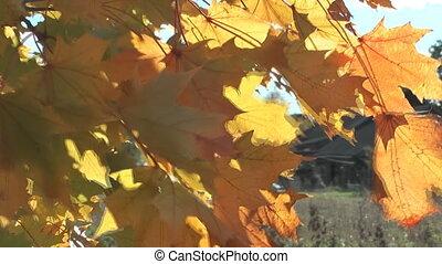 Maple tree.