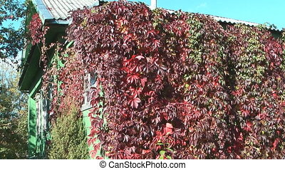Decorative grapes. - Climber with red leaves on a wall of...