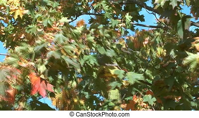 Maple tree. - Autumn seeds and maple leaves swaying in the...