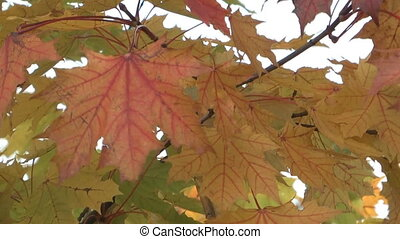 Maple tree. - Yellow autumn maple leaves swaying in the...