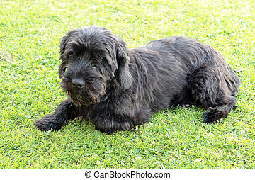 dog lying on grass - terrier dog lying down in the grass on...