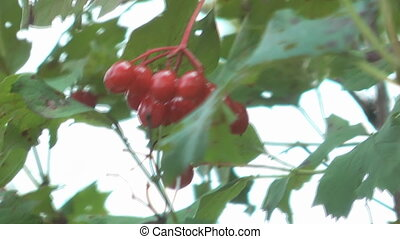 Guelder rose. - Autumn red snowball-tree berry.