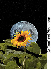 sunflower bee and moon with night sky - a tall sunflower...