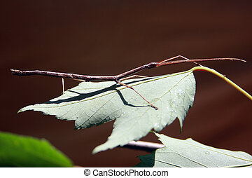 walking stick close up - walking stick insect close up on a...