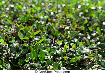 Green Undergrowth - up close shot of green undergrowth on a...