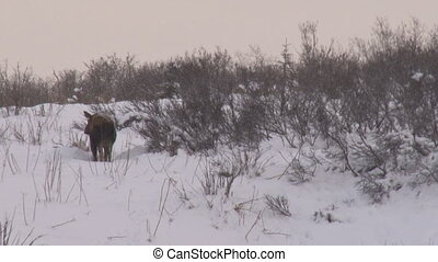 Moose cow shaking off snow - Cow moose shakes off a dusting...