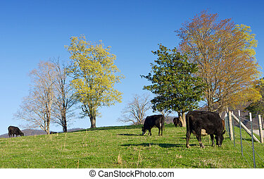 Free Range Cattle - Herd of free range cattle grazing on a...