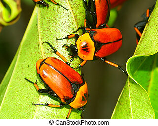 Flower Beetles - Queensland - Brightly colored Flower...