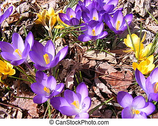 Spring has sprung - Crocus flowers in sun