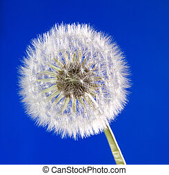 Close up of dandelion on blue sky background - Close up of...