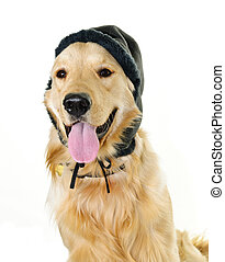 Golden retriever dog wearing winter hat - Funny golden...