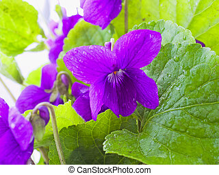 Violet - Close up of purple violet in a bunch