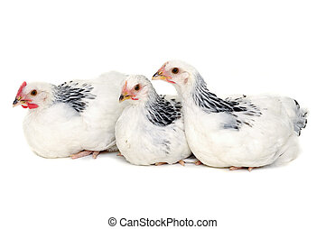reposer, blanc, poulets, fond
