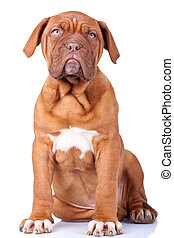 seated Puppy of Dogue de Bordeaux (French mastiff). Isolated...
