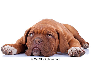 cute french mastiff dogue bordeaux loiking a little sad and...